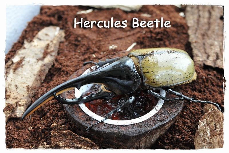 Hercules_2